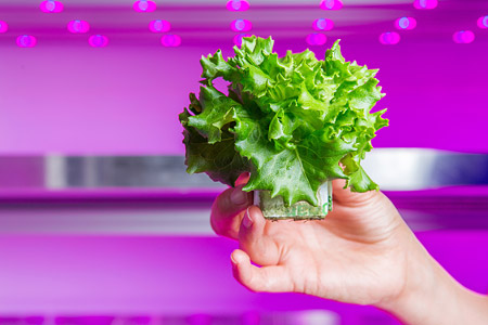 Lettuce grown with horticultural LED light at the Philips Lighting GrowWise Center