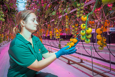 UK tomato growers capitalize on 100% Philips LED lighting