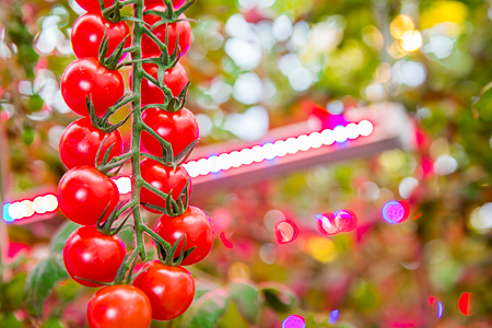 World's largest LED horticultural lighting project with Agro-Invest