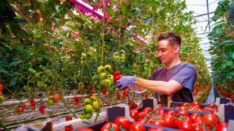 Growing tomatos with light recipes from Signify